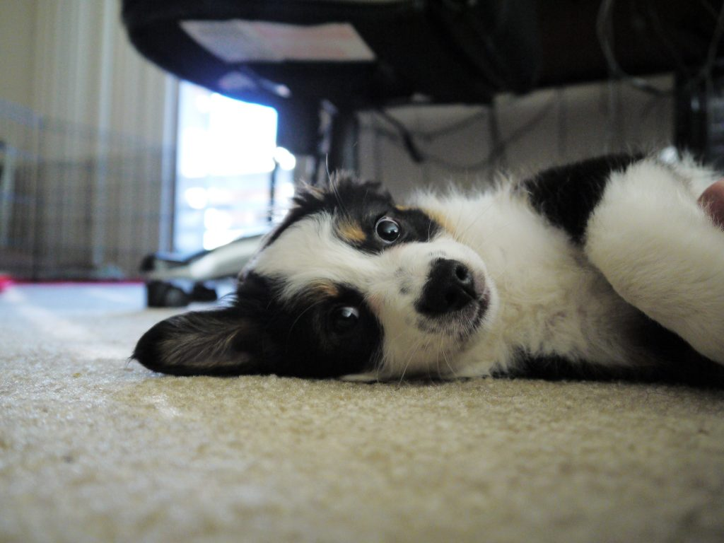 picture of puppy Mika laying on the carpet