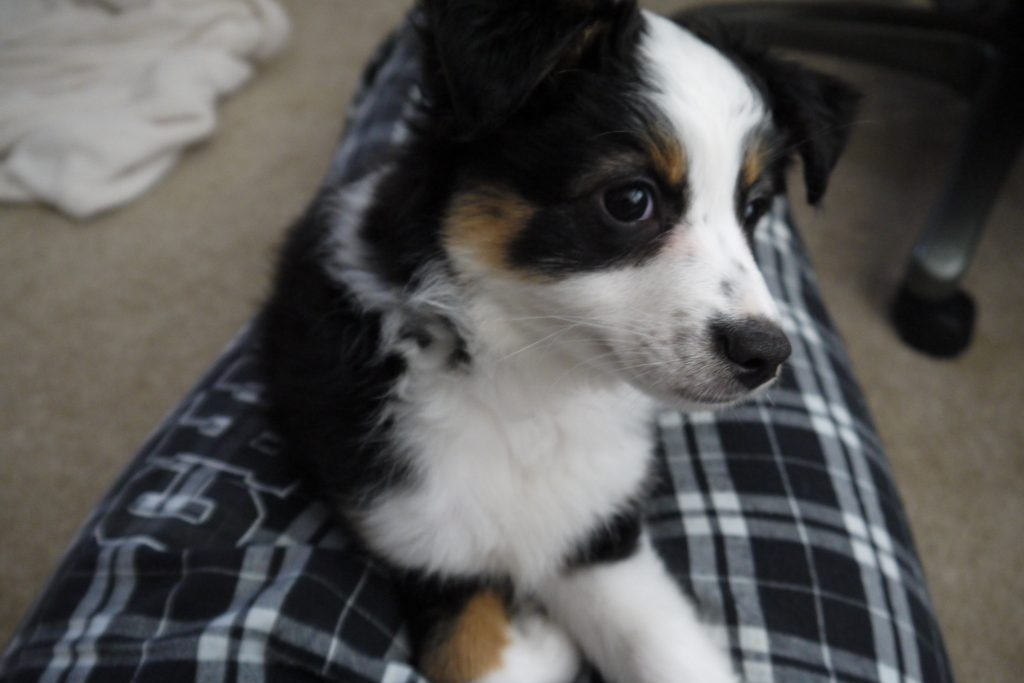 picture of adorable puppy Mika